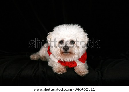 A Beautiful Pure Breed Bichon Frise dog wears her Red and White Christmas Holiday Necklace complete with Brass Bells as she poses for her portrait on black velvet in a photo studio. Focus on her face. - stock photo