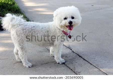 A beautiful pure breed Bichon Frise enjoys an warm spring afternoon in the sun while out for a walk at the local dog park. Bichon Frise Dogs are always happy and smile at everyone they meet. - stock photo
