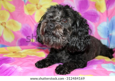 A beautiful purebred female black Maltese Puppy smiles as she lays upon a colorful flower pattern silk background as she has her portrait taken. White Dogs are loved by people around the world.  - stock photo