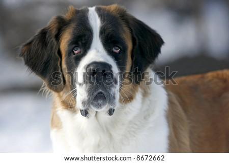 A beautiful purebred st bernard dog. - stock photo