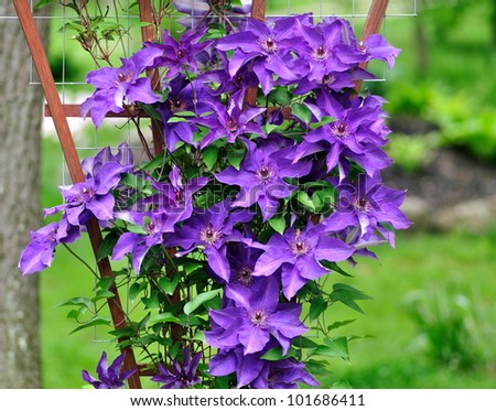 A beautiful, purple clematis (The President) growing up a trellis in a woodland garden. - stock photo