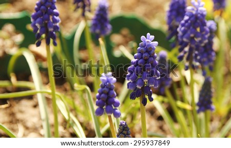 a beautiful purple flowers in the flowerbed - stock photo
