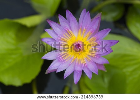 A beautiful Purple Waterlily or water lily flowers blooming on the lake - stock photo