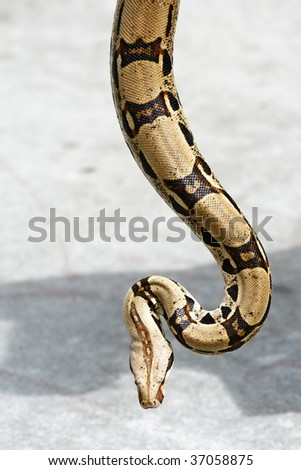 A beautiful python hangs towards the ground. - stock photo