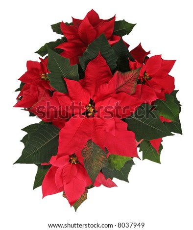 A beautiful red Christmas Poinsettia arrangement with red and green leaves.