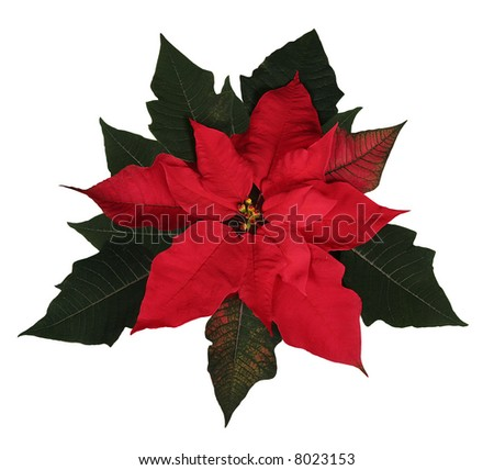 A beautiful red Christmas Poinsettia with clipping path.