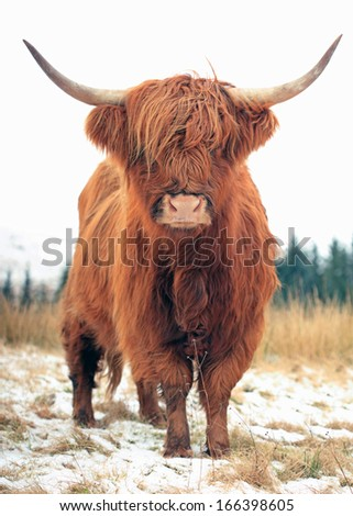 A beautiful red Highland Cattle close-up - stock photo