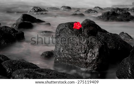 A beautiful red Hyacinth contrasts with a black and white long exposure seascape background of a volcanic Hawaiian shore. - stock photo