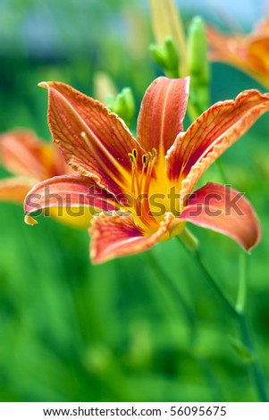 A beautiful red lily, the green background.