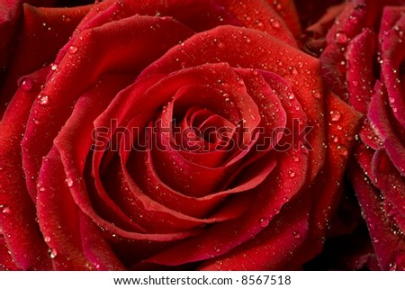 A beautiful red rose for backgrounds