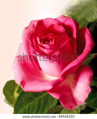 A beautiful red rose on white background - isolated - stock photo
