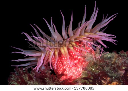 A beautiful red rose sea anemone with tentacles fully exposed feeds on tiny plankton floating in the waterat night. Image shot in the Channel Islands, San Miguel Island, California. - stock photo