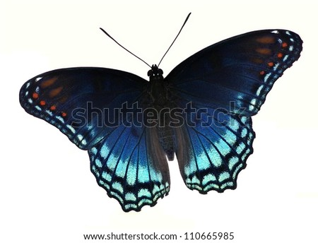 A beautiful Red- spotted Purple butterfly (Limenitis arthemis) isolated on a white background.