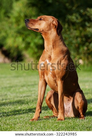 A beautiful Rhodesian Ridgeback female is sitting in the garden outside. She is looking cute straight waiting for a treat. It is an African purebred hound dog. The sun is shining in her cute face.  - stock photo