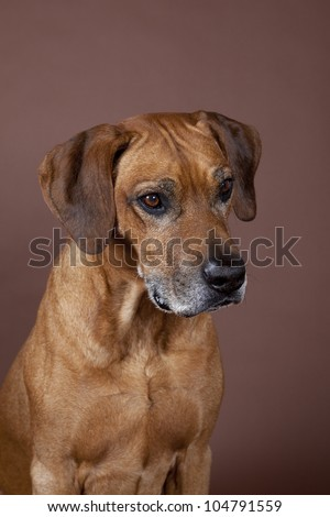 A beautiful Rhodesian Ridgeback male hound dog portrait with nice expression in his face isolated on brown studio background - stock photo