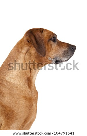 A beautiful Rhodesian Ridgeback male hound dog portrait with nice expression in his head isolated on white studio background - stock photo