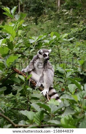 A beautiful ring-tailed lemur (Lemur catta) - stock photo