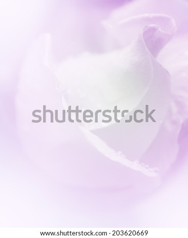A beautiful rose and color filtered image. Sweet color flower in soft focus may use for background.  Wedding background.