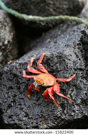 A beautiful Sally Lightfoot Crab rests on a volcanic rock on the island of San Cristobal, Ecuador - stock photo