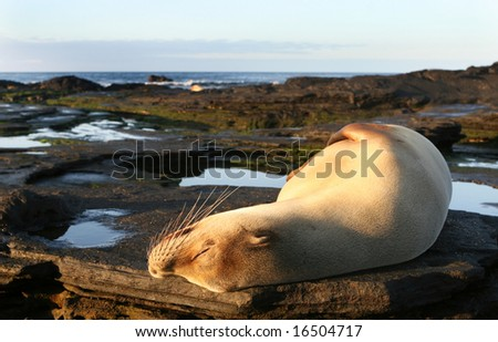 A beautiful sea lion resting under the sun - stock photo