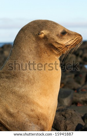 A beautiful Sea Lion watching the shoreline - stock photo