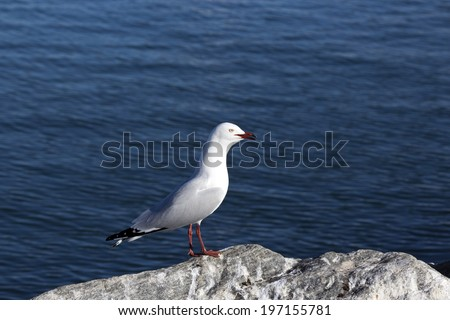 A  beautiful seagull a   seabird of the family Laridae in the sub-order Lari   is perched on a  granitic rock on a fine morning in early winter. - stock photo