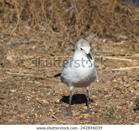 A beautiful seagull   seabird of family Laridae in sub-order Lari  young  brown speckled chick  is  standing on the bare ground on a hot summer afternoon. - stock photo