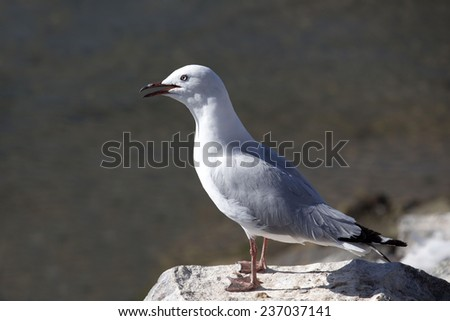A  beautiful seagull   seabird of the family Laridae in the sub-order Lari   is   perched on a  granitic rock on a fine morning in early summer. - stock photo