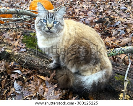 A beautiful Siamese, Balinese cat sitting on a log in the woods with pumpkins in the background.