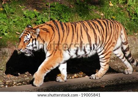 A beautiful Siberian tiger. - stock photo