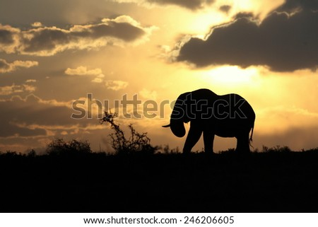 A beautiful silhouette of a elephant bull against an amazing African sunset. Taken on safari in South Africa. - stock photo