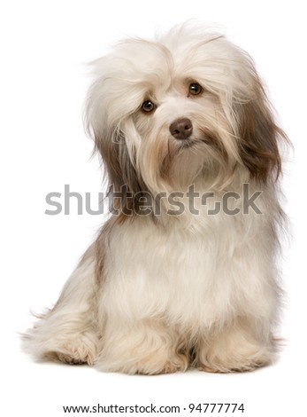 A beautiful sitting chocolate havanese puppy dog is looking to camera isolated on white background - stock photo