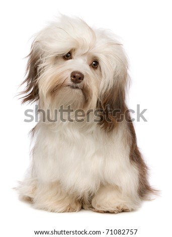 A beautiful sitting chocolate havanese puppy dog isolated on white background - stock photo
