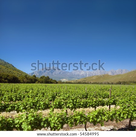A beautiful South African vineyard on a crystal clear day - stock photo