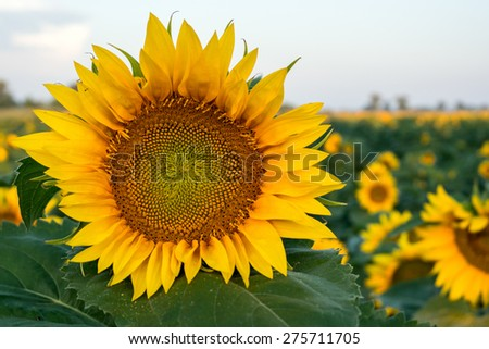 A beautiful sunflower field  in summer in Hungary