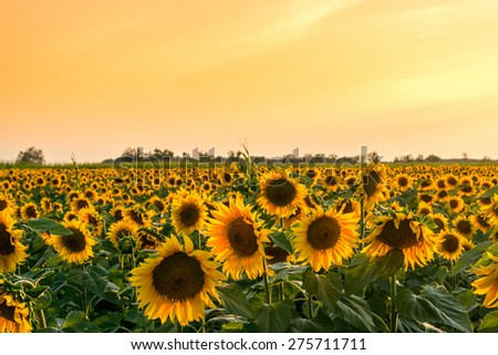A beautiful sunflower field  in summer in Hungary - stock photo
