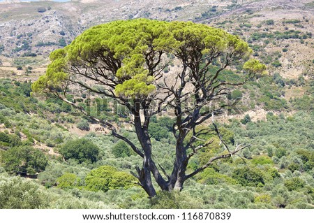 A beautiful tall tree surrounded by olive trees in the mountains of Crete - stock photo