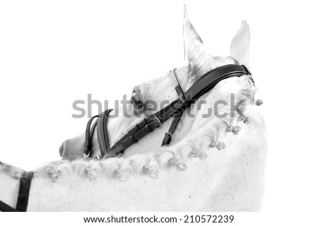 A beautiful thoroughbred mare looking back on an isolated white background - stock photo