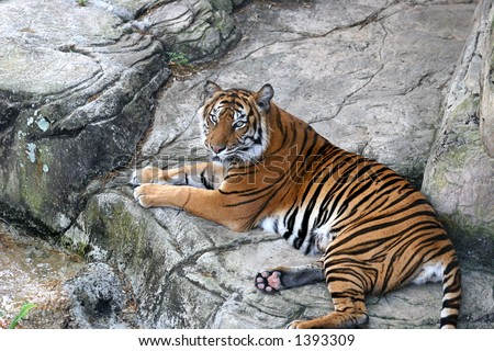 A beautiful tiger resting on rocks. - stock photo