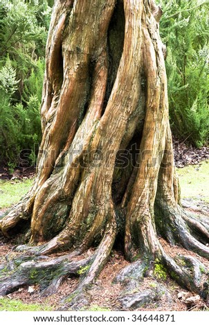 A beautiful tree with twisting roots. - stock photo