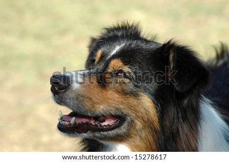 A beautiful tricolor Australian Shepherd dog head portrait with cute expression in the face watching other dogs in the park - stock photo