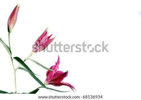 A Beautiful Trio of Pink Lilies in Different Stages of Bloom, Isolated on a White Background, with Room for Text - stock photo