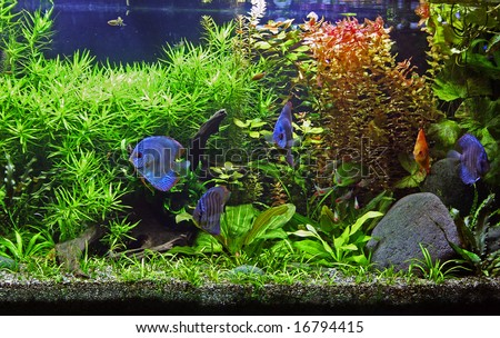 A beautiful tropical planted freshwater aquarium with Discus Fish. - stock photo