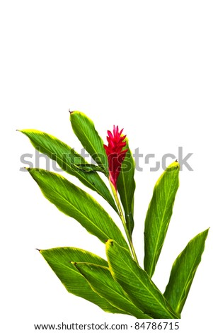 A Beautiful Tropical Red Ginger (Alpinia Purpurata) Flower2. - stock photo