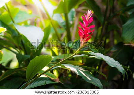 A beautiful tropical red ginger flower - stock photo