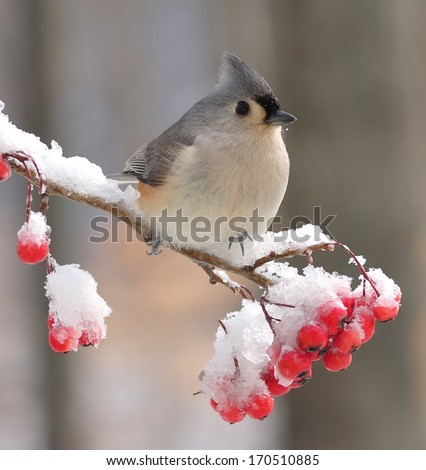 A beautiful Tufted Titmouse (Baeolophus bicolor) on a snowy hawthorn branch full of bright red berries. - stock photo