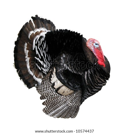 A beautiful turkey isolated on white background