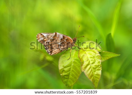 A beautiful Variegated Fritillary butterfly perching on a leaf