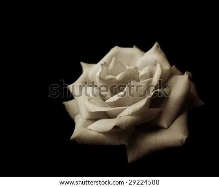 A beautiful, velvety rose in the dark