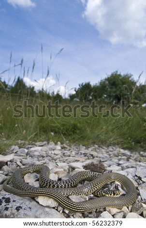 A beautiful Western Whip Snake (Hierophis viridiflavus) with its natural habitat in the background. - stock photo
